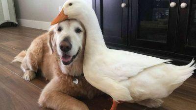Un perro y un pato enlazados